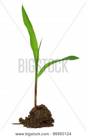 Corn Seedling