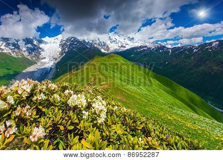 Blooming Rhododendrons On Mountain Meadow