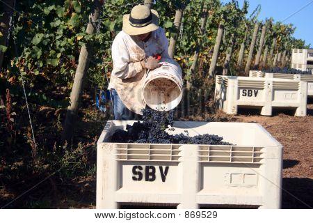 Dumping Grapes