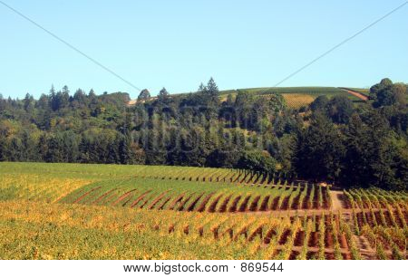 Autumn Vineyards and Trees