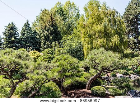 Pines And Weeping Willows In Park