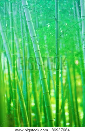 Beautiful bamboo forest, Soft green bamboo forest with young Bamboos. Intentionally shot  and processed in dreamy, fantasy like color and tone.
