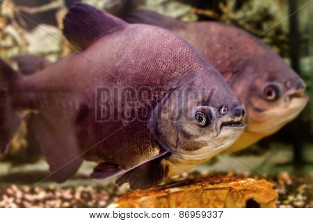 Beautiful Aquarium Fish Black Pacu