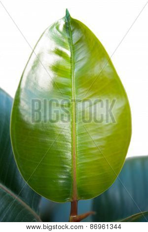 One Young Leaf Ficus