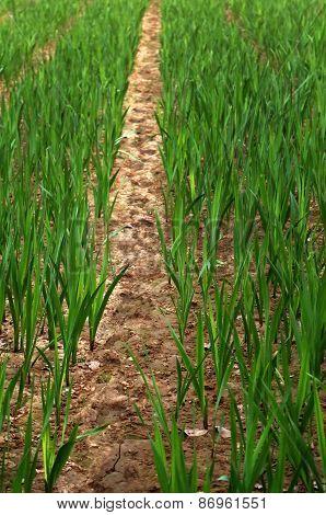 Gladiolus Field