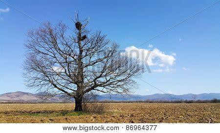 Oak With Stork Nest