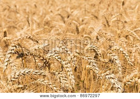Close Up Of A Field Of Rye Grain