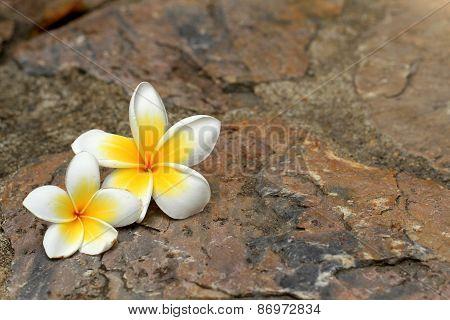 Beautiful Frangipani Flower On The Rock