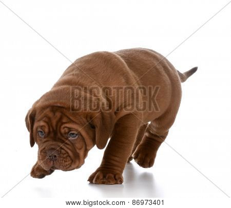 puppy walking - dogue de bordeaux puppy walking isolated on white background