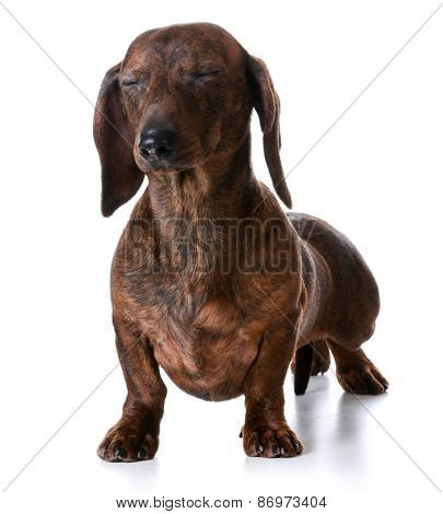 miniature smooth dachshund with both eyes closed on white background