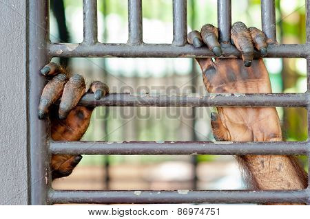 Orangutan Hand In The Cage