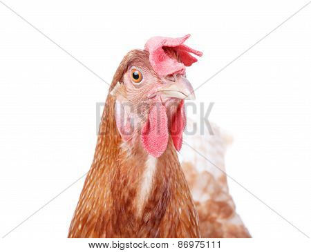 Close Up Beautiful Of Brown Female Chicken Hen Isolated White Background Use For Farm Animals And Li