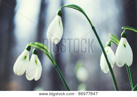 Spring Flowers Snowdrops