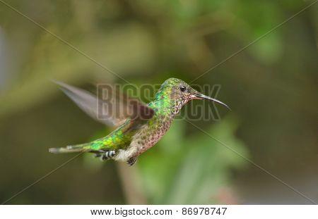 Violet-capped Hummingbird