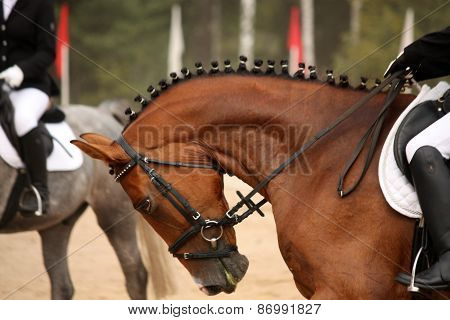 Brown Sport Horse Portrait During Dressage Test