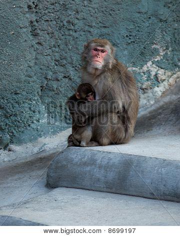 Japanese Macaque, Macaca Fuscata