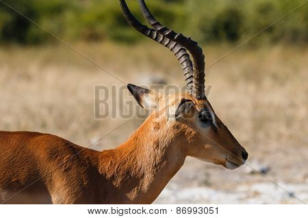 Close Up Impala Botswana