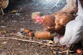 stock photo of poultry  - Traditional free range poultry farming brown and white chocken - JPG