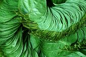 stock photo of edible  - Popular edible betel leaf of Indian subcontinent - JPG