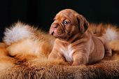 pic of dogue de bordeaux  - Puppy of Dogue de Bordeaux French mastiff - JPG