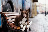 pic of collie  - Border Collie dog trained to perform tricks in the center of Moscow - JPG