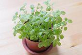 stock photo of peppermint  - green mint peppermint flowerpot on wooden background  - JPG