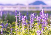 picture of salvia  - Blue Salvia or salvia farinacea flowers blooming in the garden