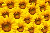 picture of naturalist  - yellow sunflower bloom in the village in the garden - JPG