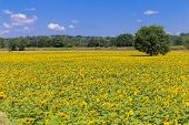 image of heliotrope  - Big field of sunflowers in the south of France - JPG