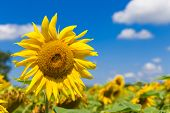 stock photo of heliotrope  - Close up of a big yellow sunflower - JPG