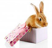 picture of dwarf rabbit  - Cute rabbit in gift box - JPG