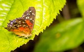 foto of butterfly  - Butterflys At Stratford Butterfly Farm In The UK - JPG