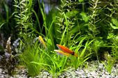image of molly  - Cremecicle Lyretail Molles and Red Wag Swordtail and swimming in planted fish tank - JPG