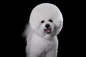 pic of bichon frise dog  - Beautiful portrait of a Bichon Frise dog breed on a black background - JPG