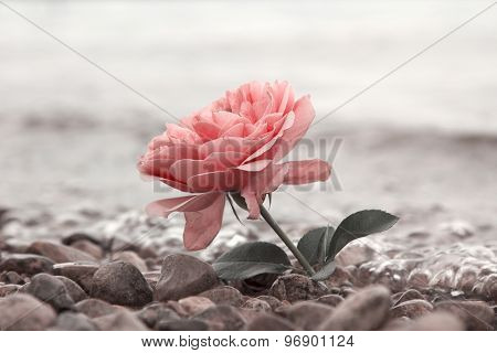 One Rosy Rose Flower At The Stony Beach