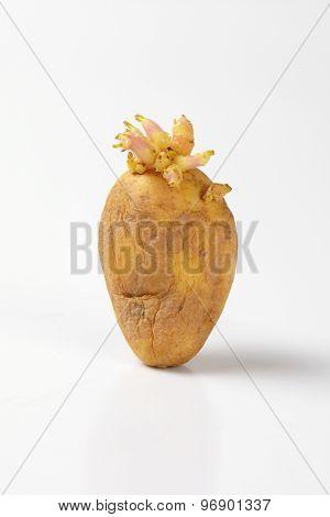 single spouting potato on white background