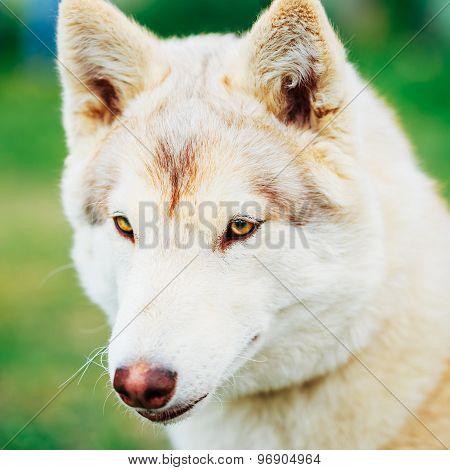 White Adult Siberian Husky Dog, Sibirsky Husky