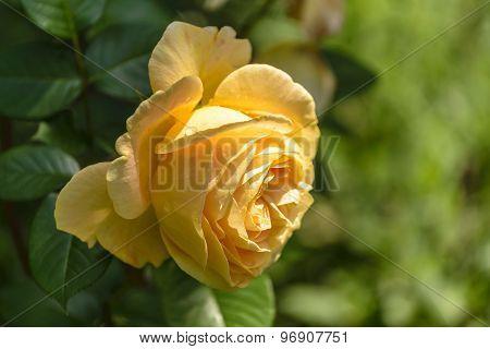 Yellowe rose