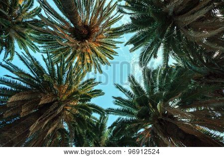 Looking Up At The Palm Trees