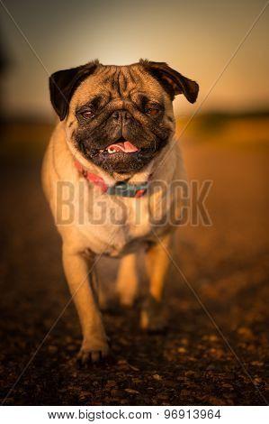 Casual Pug