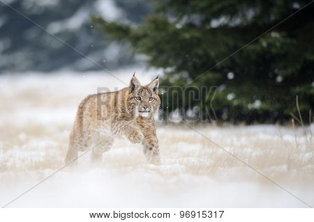Running Eurasian Lynx Cub On Snowy Ground In Cold Winter