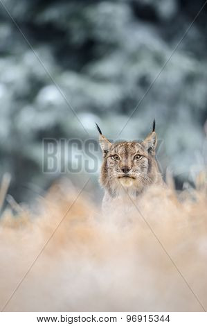 Eurasian Lynx Sitting On Ground In Winter Time