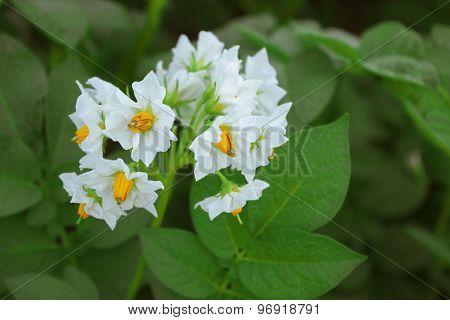 Beautiful White Flower Of Potato On Background Of Foliag