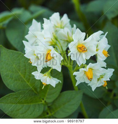 Beautiful White Flower Of Potato