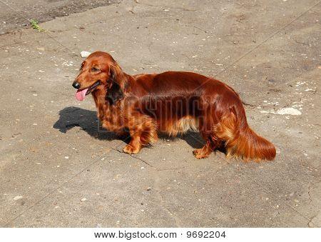 Badger Dog