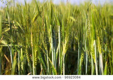 Ripe wheat at sunset.