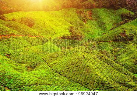 Tea plantation in morning view