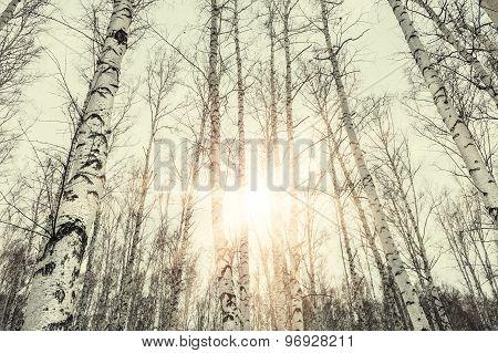 Sunset In Winter Birch Forest.