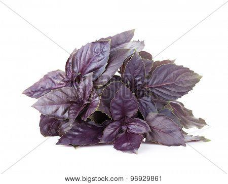Fresh garden herbs. Purple basil. Isolated on white background