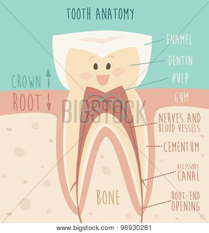 tooth anatomy funny tooth concept of healthy teeth vector illustration flat design